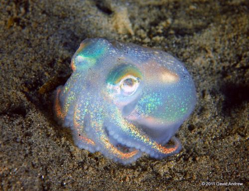 """This shiny, holographic little guy is called a """"stubby squid"""" (Rossia pacifica) - Imgur"""