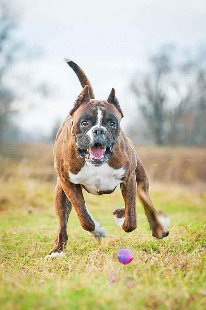 Energetic Boxers from around the world love these popular Boxer dog names... http://www.dog-names-and-more.com/Boxer-Dog-Names.html