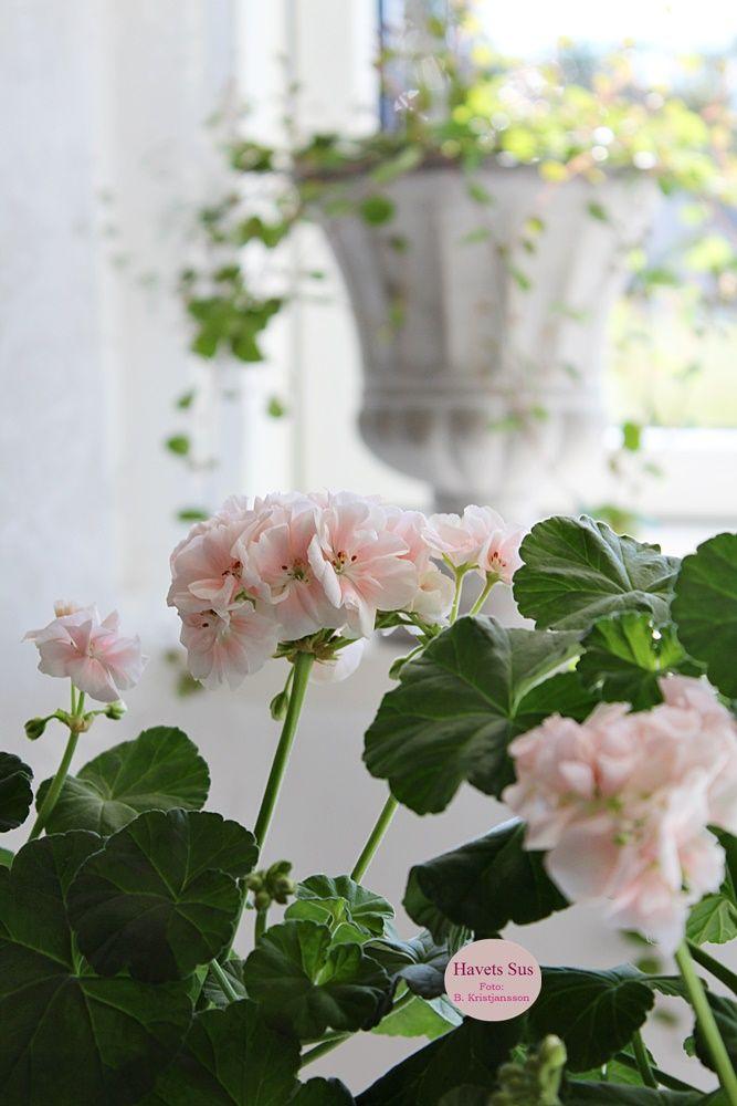 blomster - flowers - pelargonie - elargonia - pletteriluften - mygarden - spring - forår - haveglæde - Havets Sus