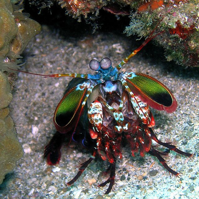 peacock mantis shrimp....When I first saw the pic, I thought it was a colorful piece of jewelry...so beautiful!