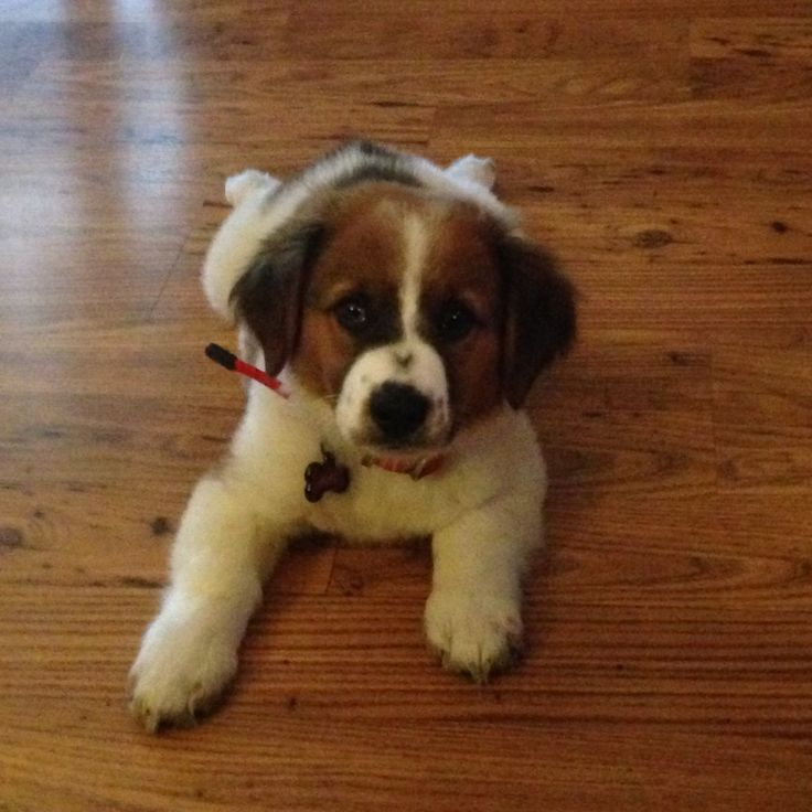 Basset Hound Mix Puppies For Sale In Pa 2021