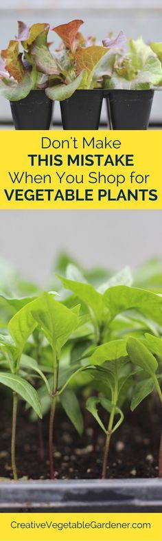 Where and how to pick out the best vegetable plants for your garden.