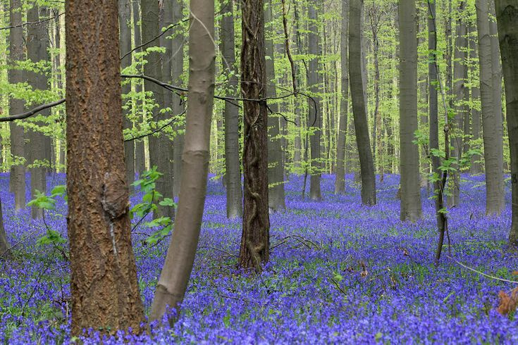 IlPost - Un prato di giacinti in un bosco, 15 aprile 2014. (AP Photo/Yves Logghe) - Un+prato+di+giacinti+in+un+bosco,+15+aprile+2014.+ (AP+Photo/Yves+Logghe)