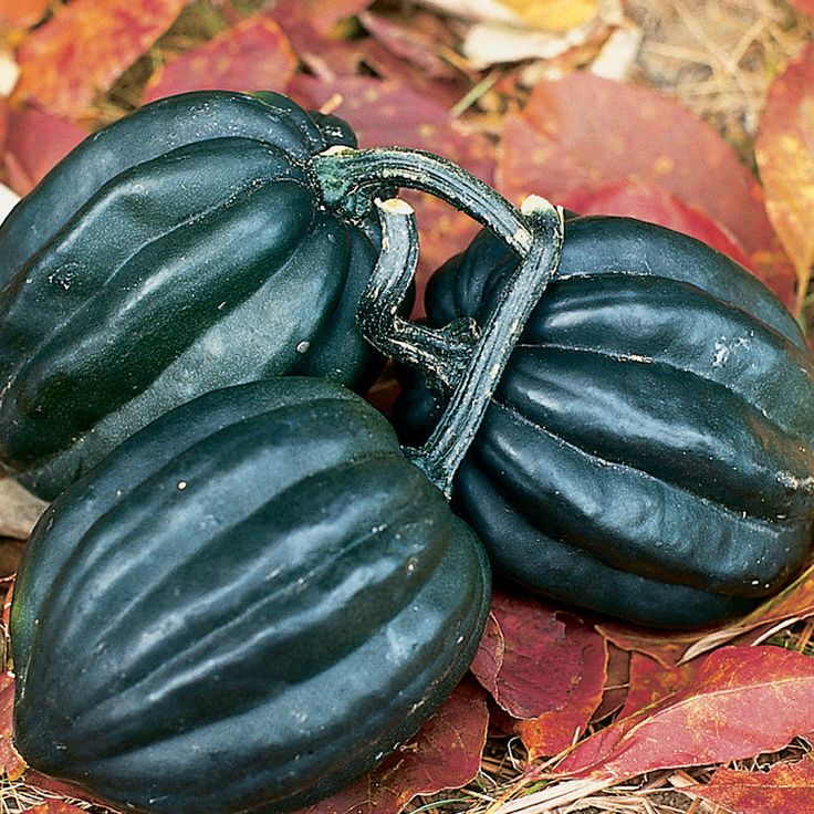 13f179c405939f3e5b0bc49e3f38a235 squash seeds acorn squash