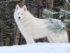 lobo branco ártico