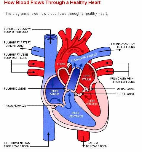 Human Heart Pictures With Labels Awesome Free Unlabeled