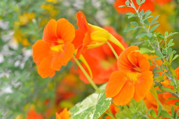 A Nogent-sur-Marne, en banlieue parisienne, le jardin du médecin Jacques Labescat n'est pas tout à fait comme les autres. Ici chaque plante a une vertu, qu'elle soigne la toux, comme la capucineou calme les nerfs, tel le pavot de Californie. Dans son abécédaire Se soigner par les plantes, publié aux éditions Ulmer, ce docteur et phytotérapeuthe averti révèle les mille et un secrets des fleurs de nos jardins, si utiles pour se soigner. Des usages oubliés, à portée de plate-bande.
