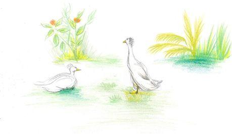 The ducks gather