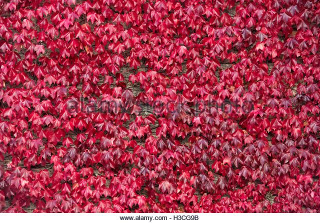 Japanese creeper / Boston ivy covering a wall at Stow on the Wold, Gloucestershire, England - Stock Image