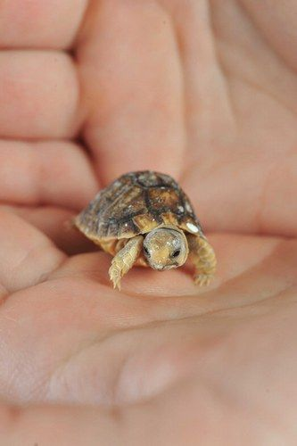 We can't believe how tiny this incy-wincy baby tortoise is.