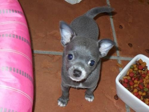 Rare Blue eyed Steel blue/ grey Chihuahua Love Your Dog? Visit our website NOW!