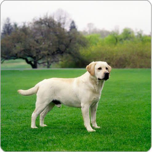 Http Www Purina Com Au Owning A Dog Dog Breeds Labrador Retriever