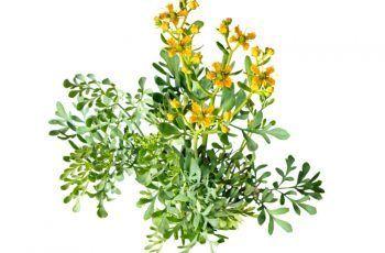 ¿Para Qué Sirve La Ruda Como Planta Medicinal?