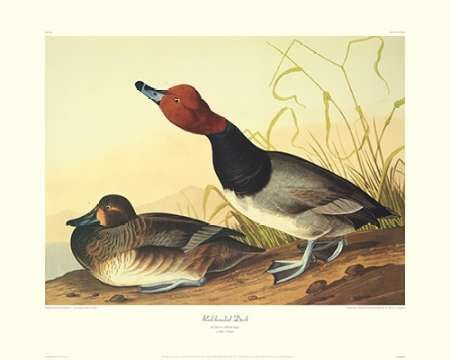 Red-Headed Duck (decorative border)