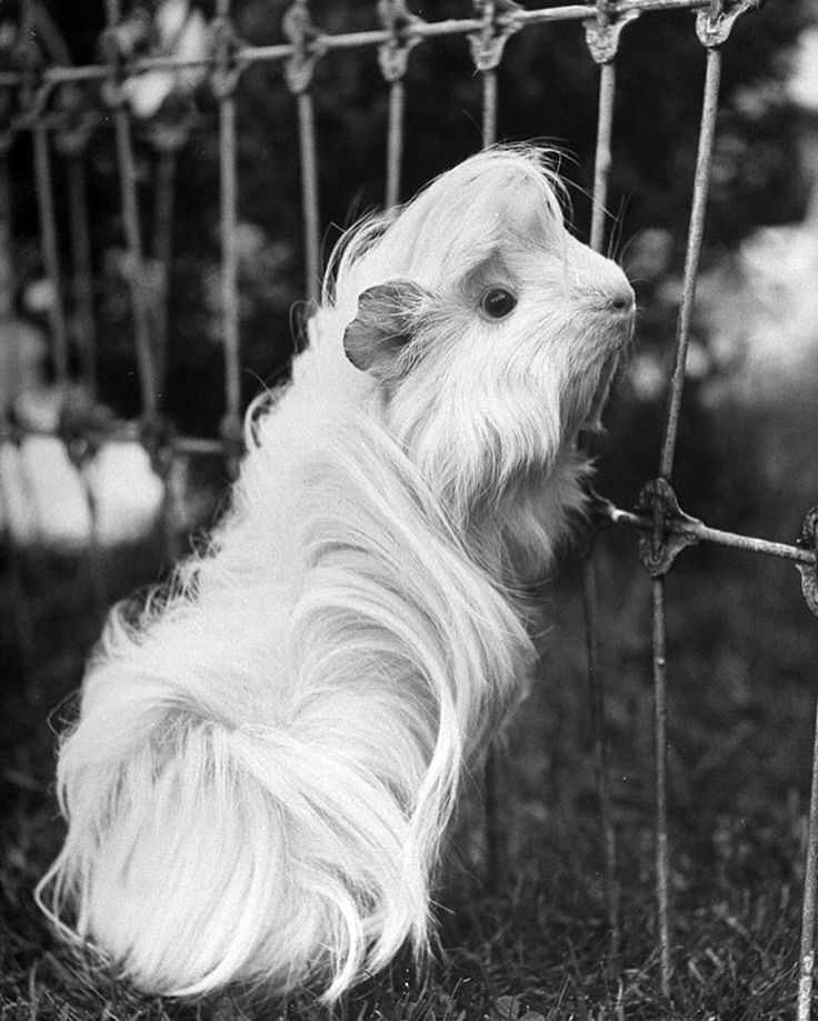 """From the Dec. 5, 1949 animal feature in LIFE magazine: """"Animated Mop: The Cavy, a Peruvian version of the guinea pig, coos like a dove and whistles through its teeth. This particular Cavy is named Deeny, she is 18 months old and weighs 22 ounces. (Yale Joel—The LIFE Picture Collection/Getty Images) #wildLIFEwednesday"""