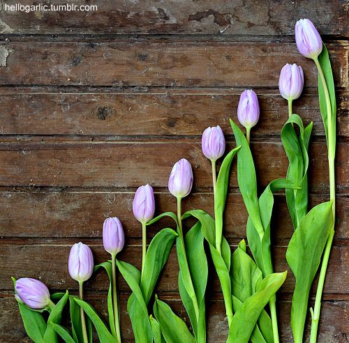 hello tulips! still life photography by Panka Milutinovits