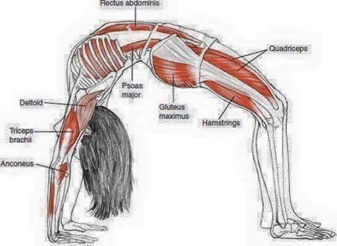 pinm saeed on stretch  yoga anatomy yoga muscles