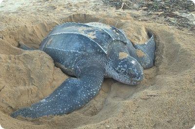Продолжительность жизни у разных черепах достигает от 100 до 250 лет. Черепаха никуда не торопится, никуда не спешит. И живет долго, наслаждаясь жизнью, оттягивая смерть.