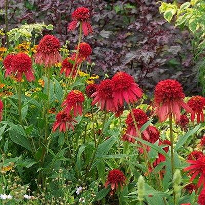 hot papaya coneflower in the flower garden pinterest. Black Bedroom Furniture Sets. Home Design Ideas