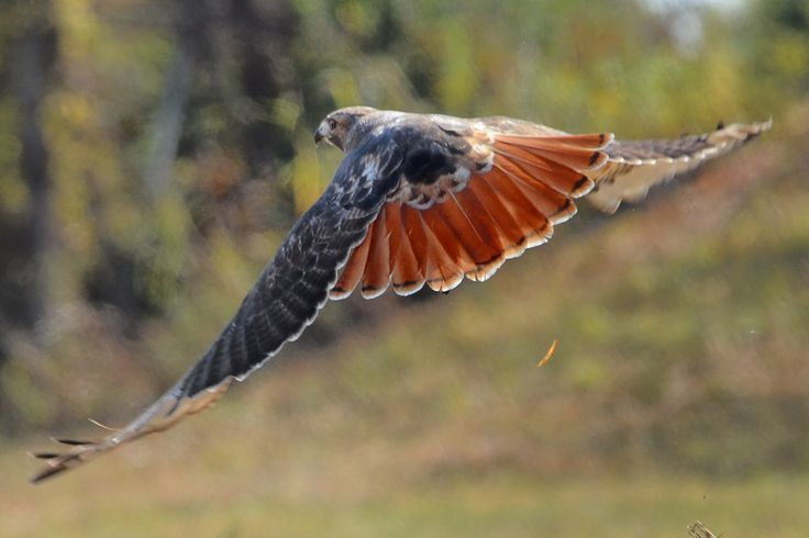 Theres a red tailed hawk that is always right outside my neighborhood. So beautiful!