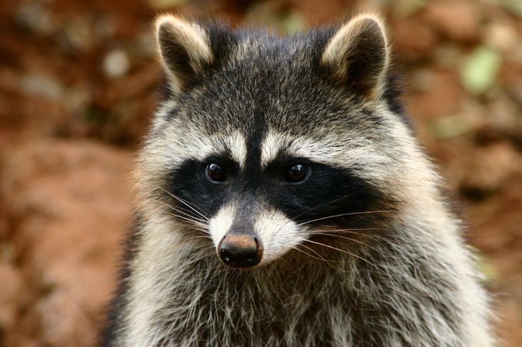 Critter & Pest Defense offers humane animal control services, including nuisance critter removal, wild animal trouble prevention. Our services for #raccoon removal Attic includes: trapping, relocating, decontamination and clean up. You call us and set your appointment. More Info: http://www.critterandpestdefense.com/raccoon-removal/