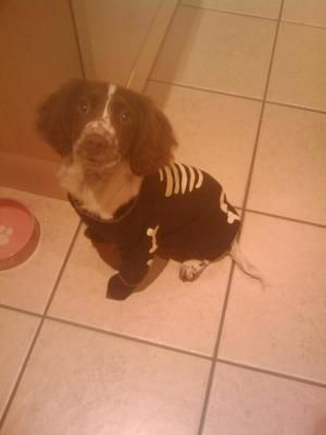 Spooky Spaniel Enter our competition https://www.facebook.com/brightonschoolbm/app_600469859988196