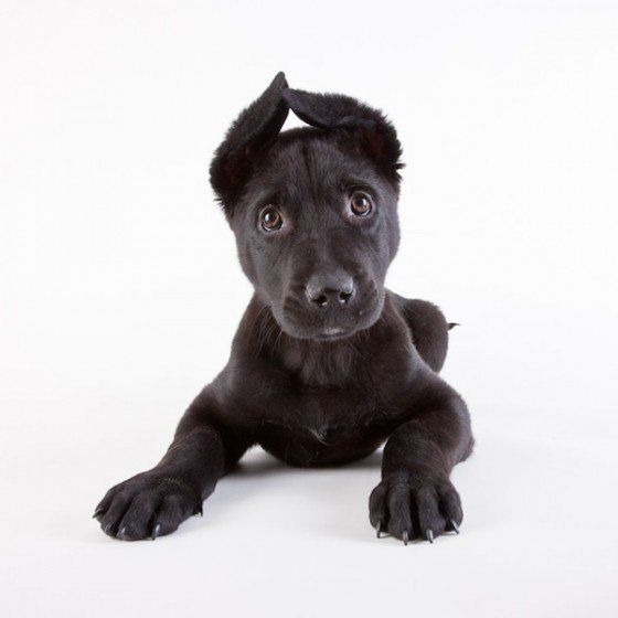 Animal Shelter Portraits by Michael Kloth: Animal Shelters, Pet, Labs Puppys, Shelters Puppys, Ears, Shelters Dogs, Shelters Portraits, German Shepherd, Black Labs