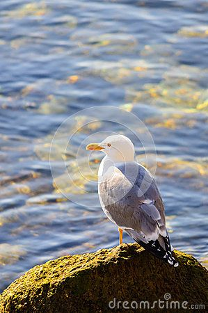 Download Seagull On Rock Sea Water Stock Photos for free or as low as 0.67 lei. New users enjoy 60% OFF. 23,039,803 high-resolution stock photos and vector illustrations. Image: 40044543