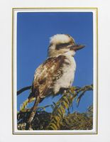 """Photo enlargement of Australian Kookaburra, measuring 8"""" x 6"""" in a soft frame. You can buy this photo enlargement for $15.95 delivered. www.theshortcollection.com.au/page/photo-enlargement-small"""