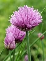 Lijst van eetbare bloemen ( veel meer dan je denkt!)
