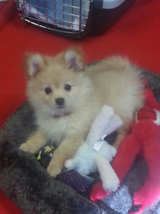 My pomeranian chihuahua mix puppy, Winston.