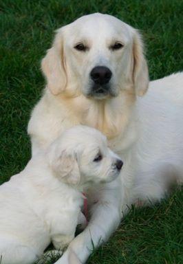 White Golden Retriever Dog & Puppy.