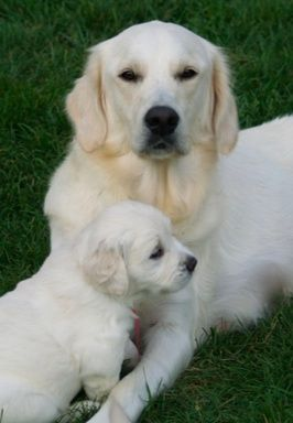 White Golden Retriever Dog & Puppy.