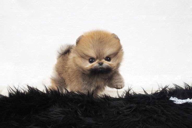Baby Doll Pomeranian Teacup Pomeranian Pomeranian Dog