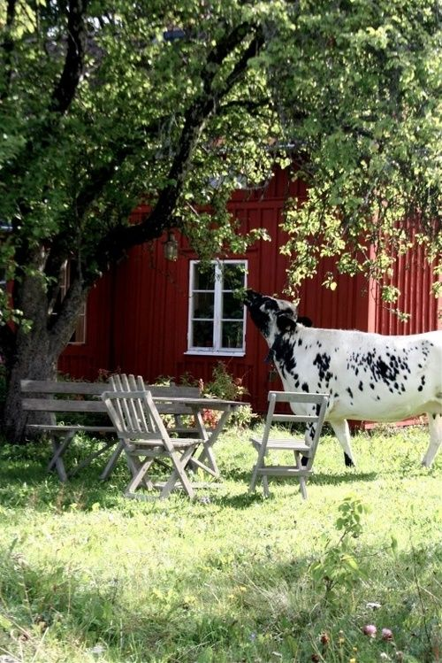 How charming. A cow strolls by and helps herself to some tree fruit. A lovely serene country backyard scene.