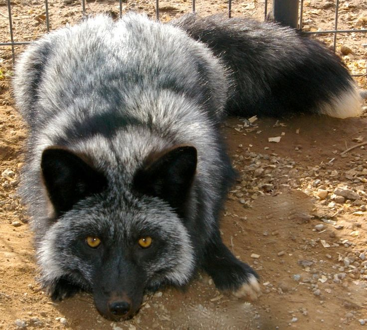 Domesticated Silver Fox - WANT!