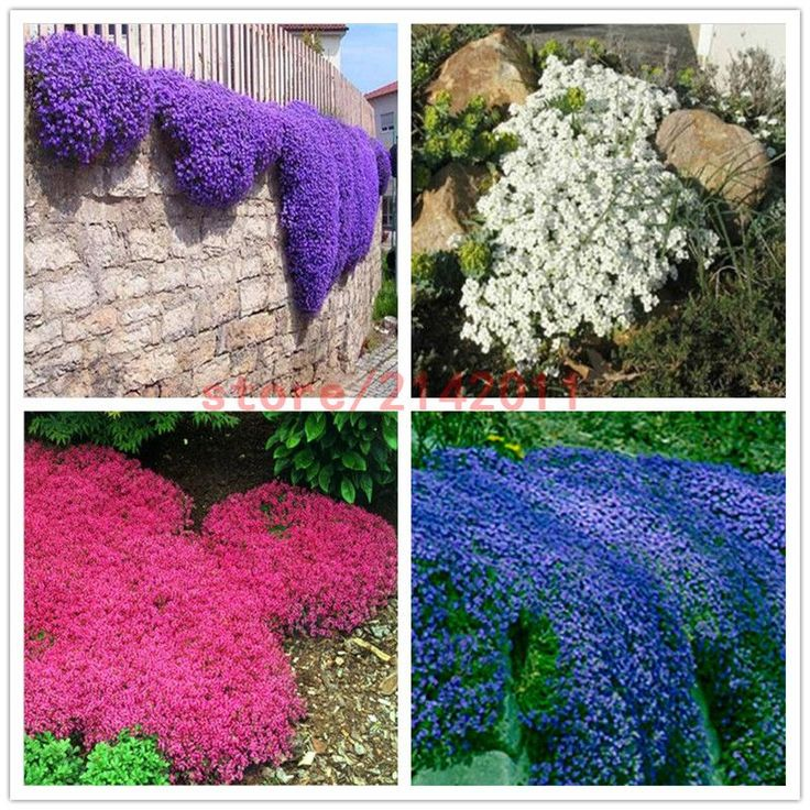 100pcsbag creeping thyme seeds or blue rock cress seeds perennial ground cover flower natural growth for home garden - Ground Cover Ideas