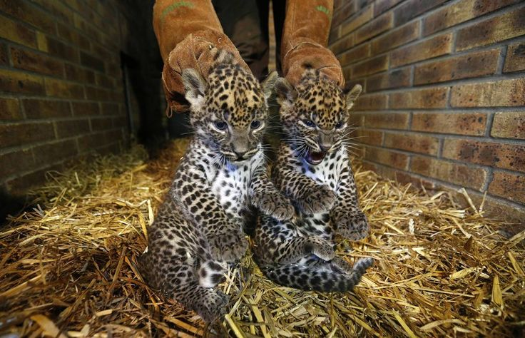 Two unnamed female Sri Lankan baby Leopards (Panthera pardus kotiya) are seen in a zoo in Maubeuge - REUTERS~Yves Herman