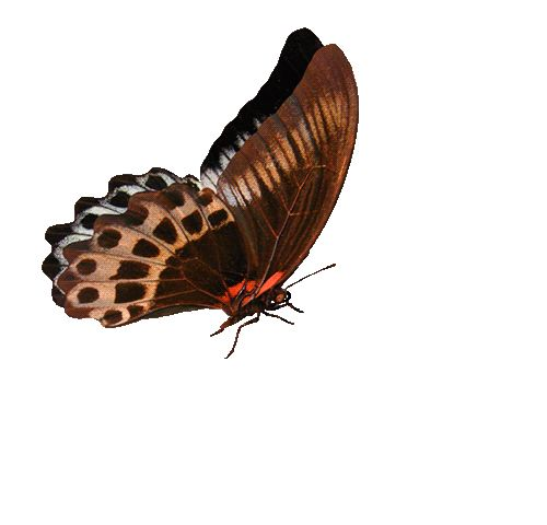 Бабочка гифка без фона