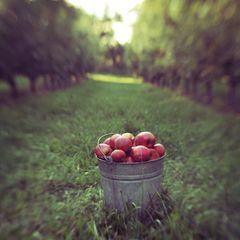 harvest: Apples Pick, Decor Ideas, Apples Festivals, Apples Orchards, Country Apples, Fall Apples, Apples Dapple, Apples Hill, Autumn Splendor
