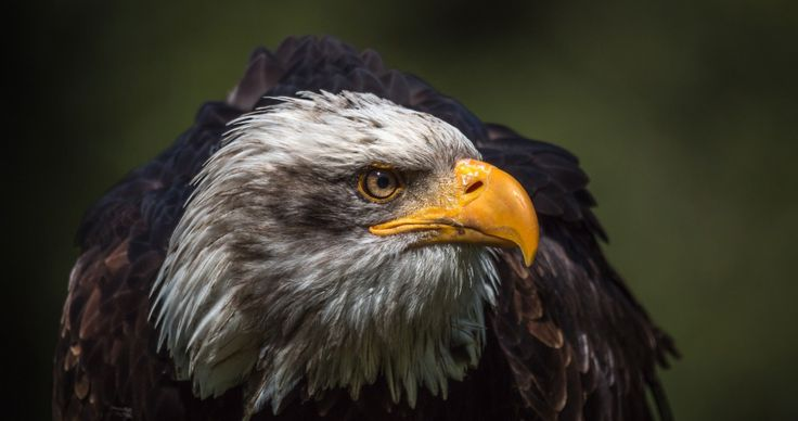 Bald Eagle HD Wallpapers 4K Wallpapers Download Wallpaper - plana k amp uuml chen preise
