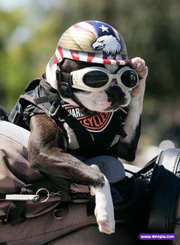 Hell's Doggy!  Is this one cool biking dog or what?!