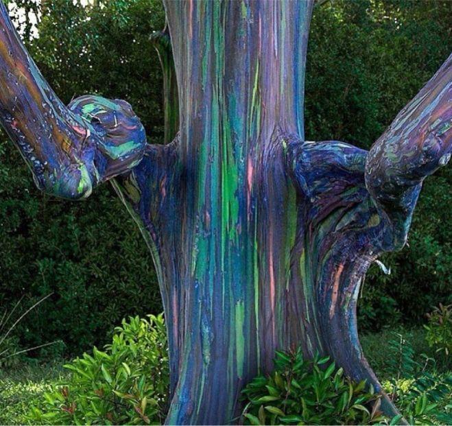 Regenbogen-Eukalyptus - Dieser bunte Baum besticht durch eine äußert breite Farbpalette. Seine Rinde stirbt unterschiedlich schnell ab, so dass der Baum auch unterschiedlich schnell altern und viele verschiedene Farben annehmen kann.