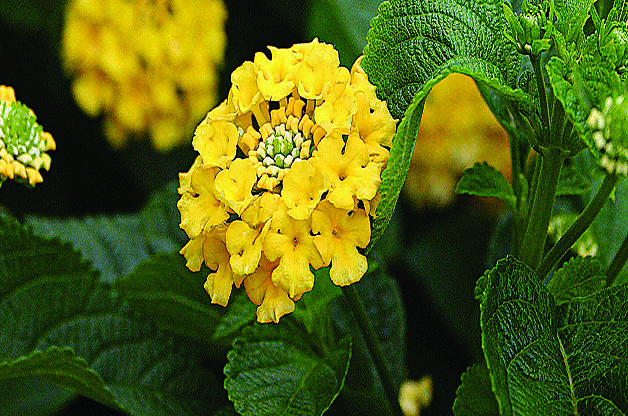 Front yard love that butterflies like this lantana low for Colorful low maintenance perennials