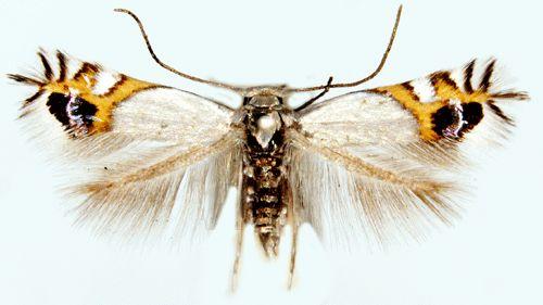leucoptera malifoliella - Cerca con Google