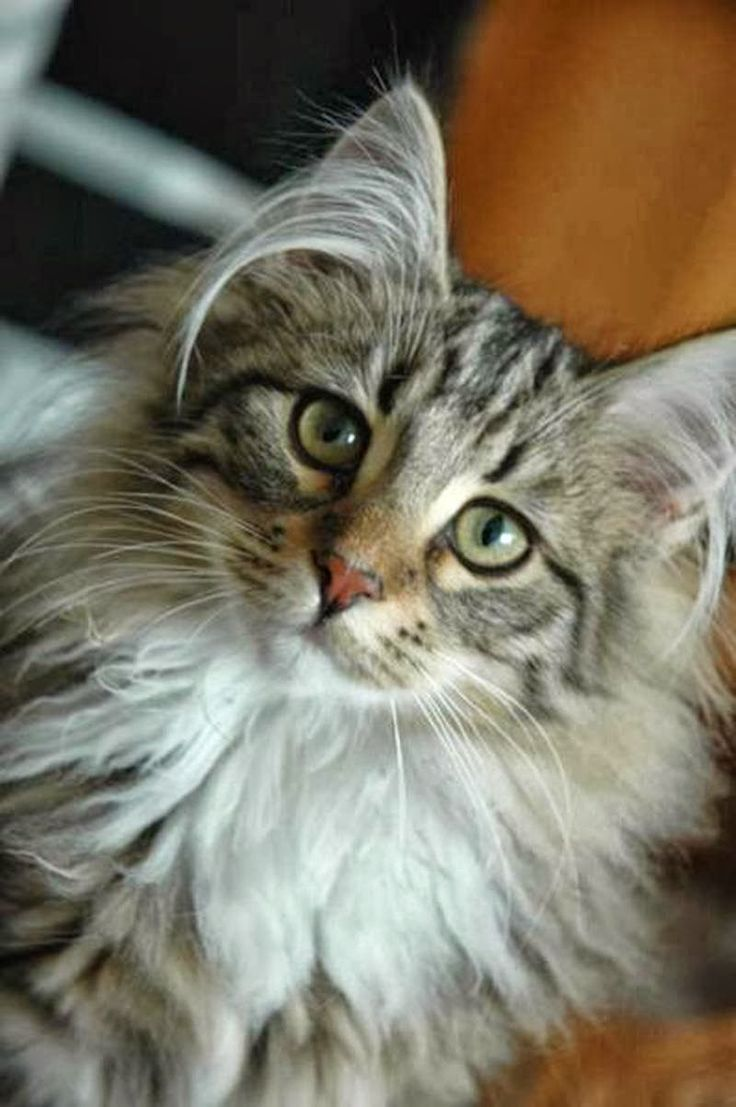 Best 25 Tiger cat breed ideas on Pinterest