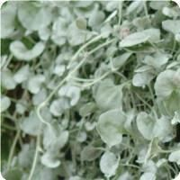 Silver Falls Dichondra foliage for pots or groundcover--I love this stuff.  It's really easy to grow and sets off the colors of the flowers!