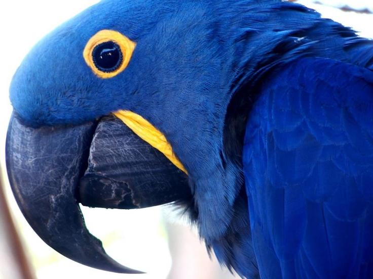 Arara  As araras estão entre os pássaros mais belos da fauna brasileira. São aves grandes e possuem e um bico curvo resistente usado para quebrar frutos e sementes. Ao todo, existem 18 espécies, distribuídas por toda a América tropical.    A mais frequente no Brasil é a arara-azul ou araraúna (Anodorhynchus hyacinthinus), de corpo azul e detalhes amarelos no peito.  As araras vivem em casais nas copas das árvores mais frondosas e fazem seus ninhos em ocos de árvores.