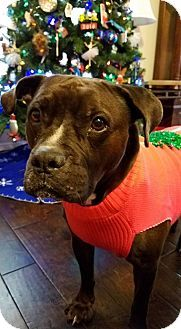 Pictures of Groot a Pit Bull Terrier/Labrador Retriever Mix for adoption in Houston, TX who needs a loving home.