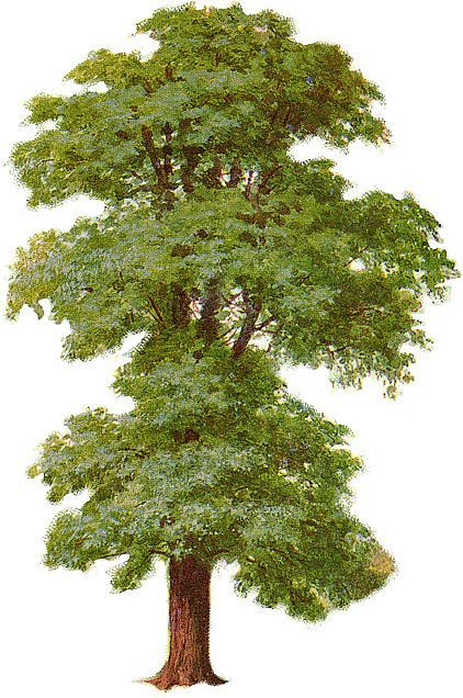 Elm Tree The American Elm was once one of America s most dominant trees Main…
